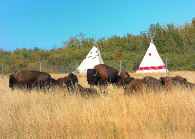 Bueffelherde-Bueffel-Pin-Ridge-Reservation-Lakota-USA