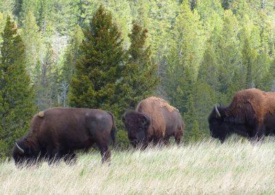 Bueffelherde-Bueffel-Spende-Indianer-Lakota-Holzprogramm-Winterhilfe